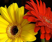 Fresh Cut Gerbera Special in Kingston ON, Pam's Flower Garden