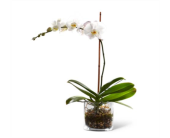 ORCHID PLANT in North York, Ontario, Aprile Florist