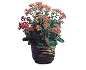 Kalanchoe in Dallas TX, Petals & Stems Florist