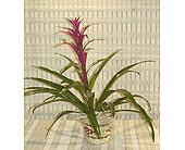 Bromeliad in Dallas TX, Petals & Stems Florist