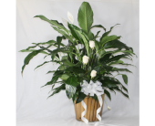 Large Spathiphyllum with Roses in Houston TX, Ace Flowers
