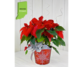 Sparkly Snowflake Red Poinsettia in Pendleton IN, The Flower Cart