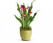Teleflora's Spring Calla Lily Plant in Charlotte NC, Starclaire House Of Flowers Florist