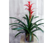 Bromeliad in Bloom in Dallas TX, Petals & Stems Florist