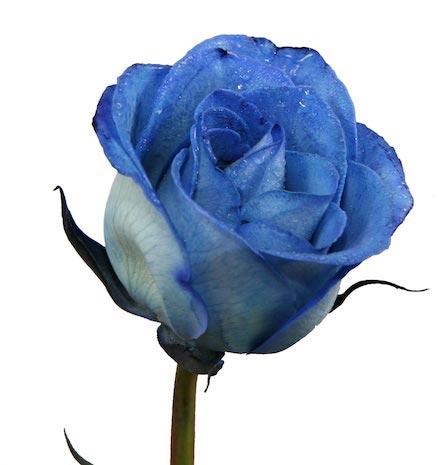 Tye Dye Roses, Blue Roses, Dyed Roses by Wichita Florist - Tillie\'s ...