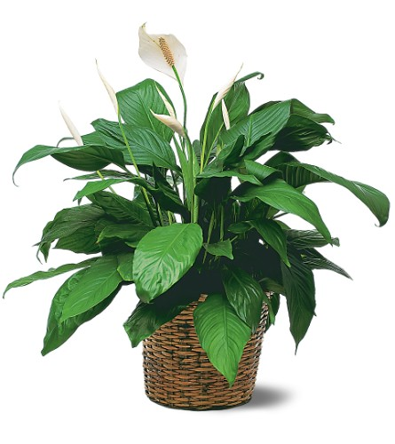 Medium Spathiphyllum Plant in Charlotte NC, Starclaire House Of Flowers Florist