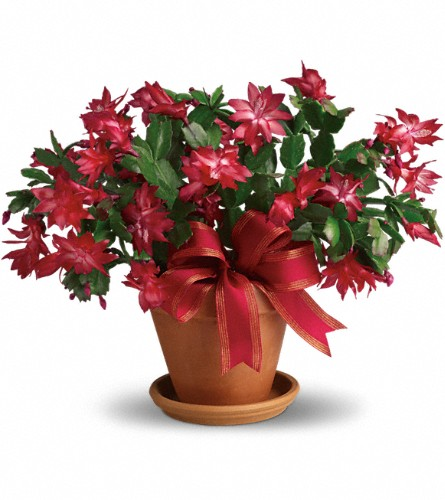 Merry Christmas Cactus in Ottawa ON, Exquisite Blooms