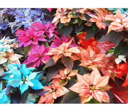 Schroeder's Own Fantasy Poinsettias in Green Bay WI, Schroeder's Flowers