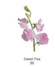 Sweer Pea
