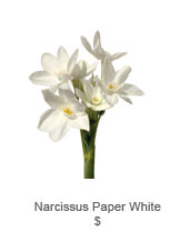 Narcissus Paper White