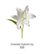 Oriental Hybrid Lily