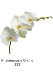 PhLenopsis Orchid